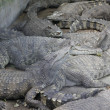 Stock Photo: Group of alligator