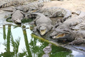 Group of alligator — Stock Photo
