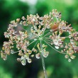Dry dill — Stock Photo #11987499