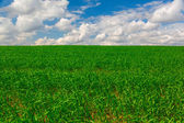 Green grass crops against the blue sky — Stock Photo