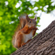 Squirrel sits on the trunk of the tree — Stock Photo