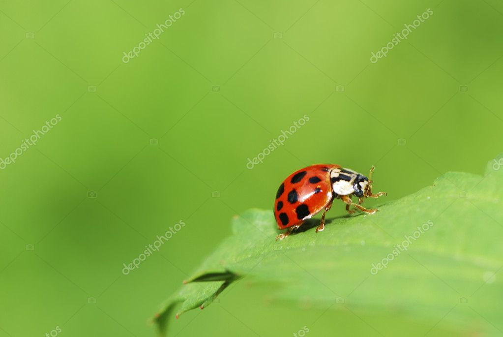 Ladybug crawling on a green leaf — Stock Photo #12358734