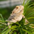 Australian Bearded Dragon — Stock Photo #11963375