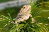 Australian Bearded Dragon — Stock Photo