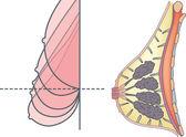 Anatomy of female breast — Stock Vector