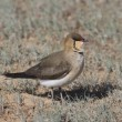 Black-winged pratincole (Glareola nordmanni) — Stock Photo