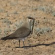 Black-winged pratincole (Glareola nordmanni)-3. — Stock Photo