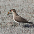 Black-winged pratincole (Glareola nordmanni) -2. — Stock Photo