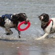 Two very wet working type english springer spaniels on a sandy beach — 图库照片