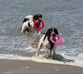 Two very wet working type english springer spaniels on a sandy beach — Stock Photo