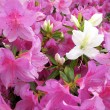Stock Photo: Closeup azalea