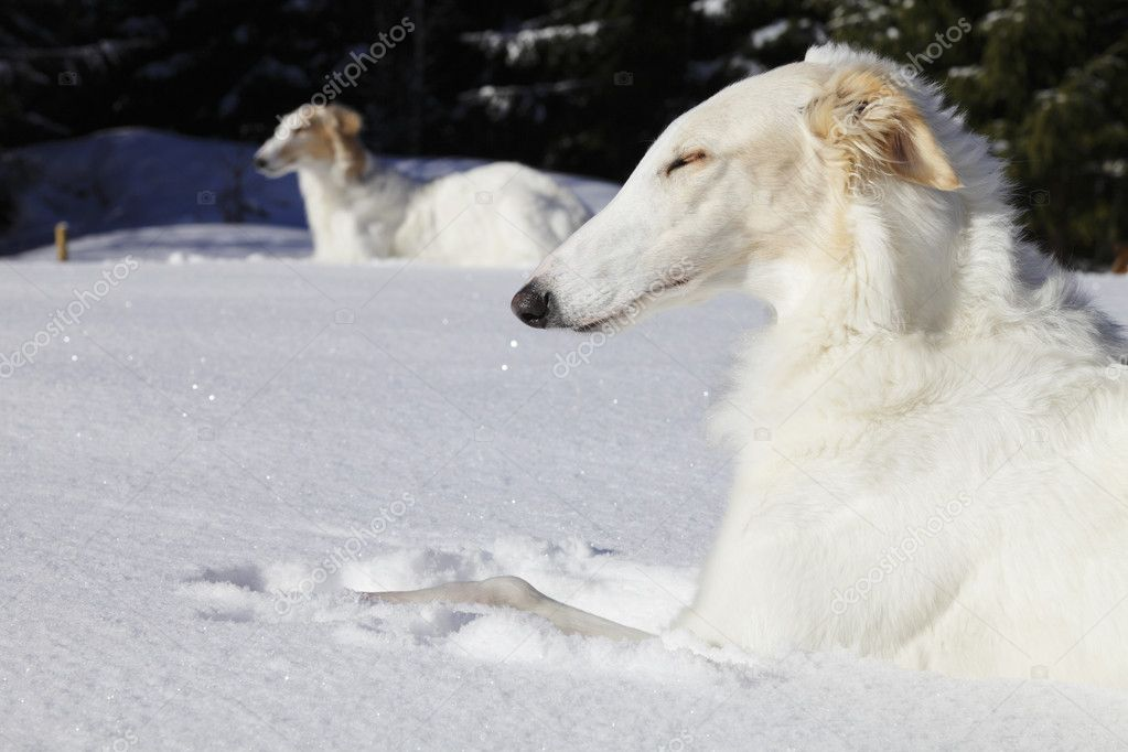 Two large borzoi sight-hounds basking in the sun, snowy winter landscape from sweden — Stock Photo #11651435
