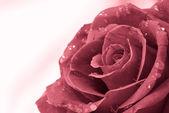 Valentine red rose — Stock Photo