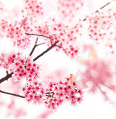 Spring cherry blossoms on pink background — Stock Photo
