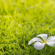 White plumeria on grass — Stock Photo