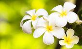 White plumeria on grass — Stock Photo