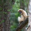 White handed Gibbon or Lar Gibbon — Stock Photo