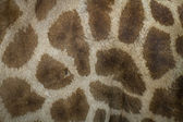 Genuine leather skin of giraffe — Stock Photo
