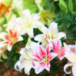 Lily background — Stock Photo