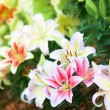 Lily background — Stock Photo #12331181