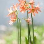 fiore di Lilly — Foto Stock