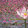 Beautiful pink lotus — Stock Photo