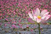 Beautiful pink lotus — Stock Photo
