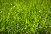 Fresh green grass. — Stock Photo