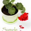 Foto Stock: Beautiful red geranium in flower pot on white background.