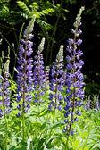 Modrá jarní květina na hřišti — Stock fotografie