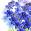 Stock Photo: Delphinium Flowers