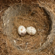Stock Photo: Bird Eggs