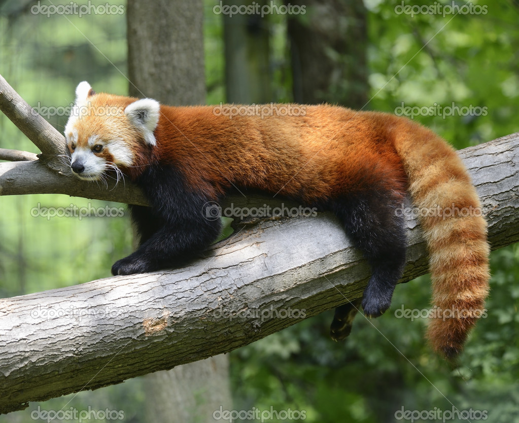 Red Panda Resting On A Tree — 图库照片 #11441059