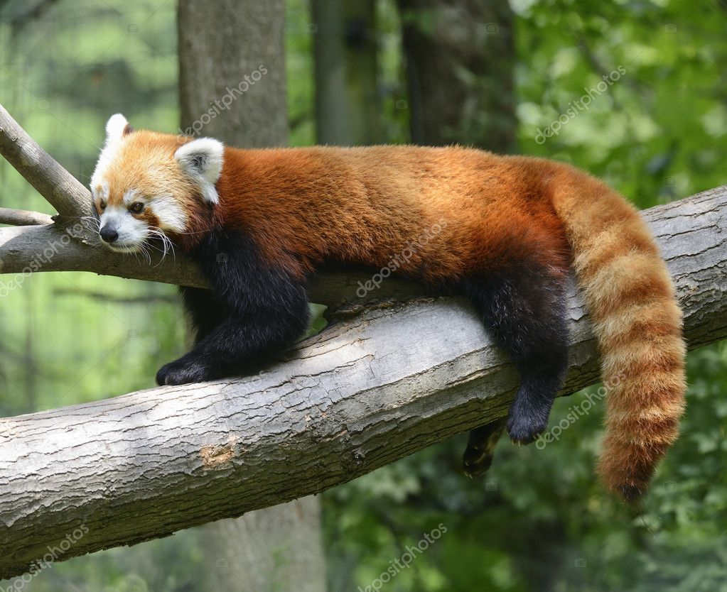 Red Panda Resting On A Tree — Stock Photo #11441059