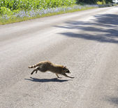 Raccoon Crossing The Road — Stock Photo