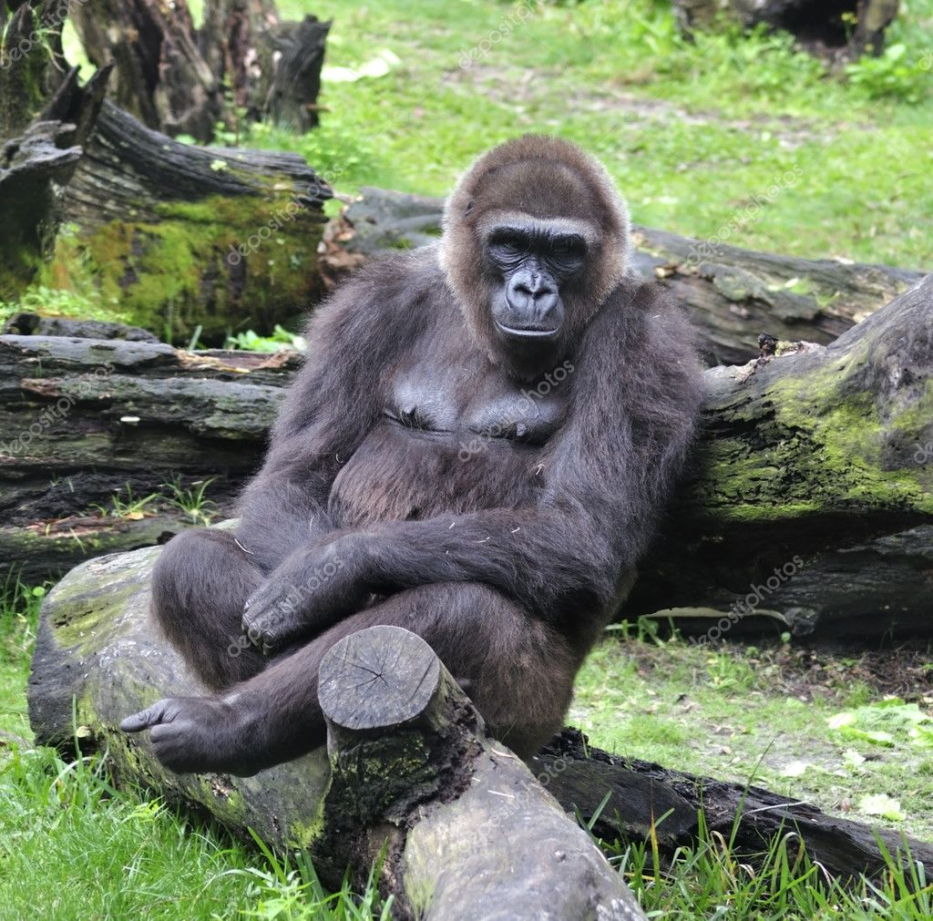 Gorilla Sitting On The Tree — Stock Photo #11787871