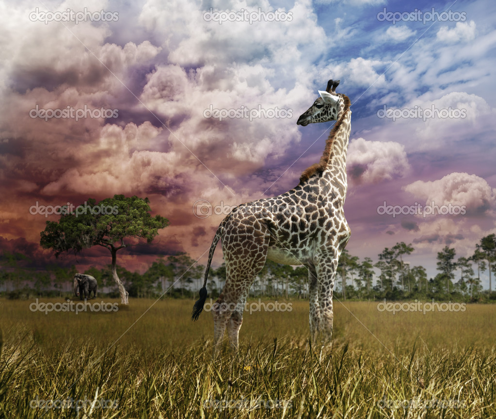 Young Giraffe Looking At Sunset  Stock Photo #12348554