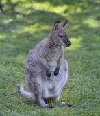 Gray Kangaroo — Stock Photo
