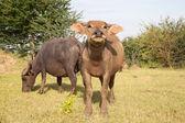 Buffalo in a rice field — Stock Photo