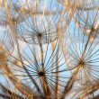 Abstract dandelion flower background — Stock Photo #11296535