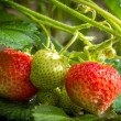 Stock Photo: Close-up fresh strawberries on cuttings