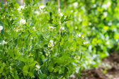 Peas growing in the garden — Stock Photo