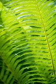 Closeup green fern leaf background — Stock Photo