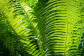 Close up of green leaf fern in tropical forest — Stock Photo