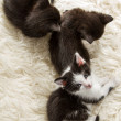 Stock Photo: Groups of young kittens sleeping