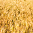 Yellow wheat field background — Stock Photo #11994698