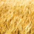 Gold field background — Stock Photo #11994714