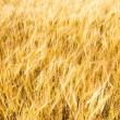 Gold field background — Stock Photo