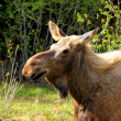 Moose Close Up — Stock Photo #11438298