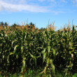 Stock Photo: Green field of corn growing